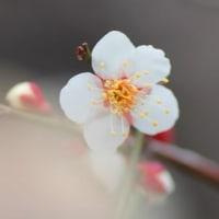 Gifu / Hyakubaien ( 百梅園)