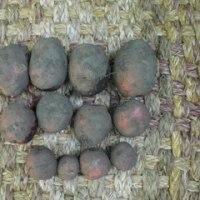 ジャガイモを掘りました