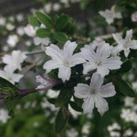 ハクチョウゲ咲く