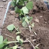 大豆の捕植、今年も苗不足!