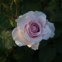 植物園・・薔薇・・