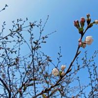 ☆☆☆ ついに桜咲く/春は名のみの風の寒さや~水曜日・・・