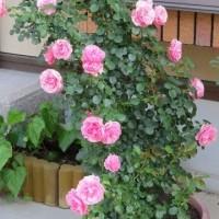 ☆ここ数日の庭バラ 最後に咲くザ・フェアリー