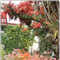 ブルーベリーの紅葉 等 初冬の彩り