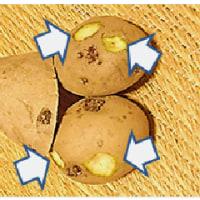植え付け用 じゃが芋 メ―クイーン・男爵 種芋の 準備