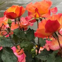 雨だから、薔薇を見に。