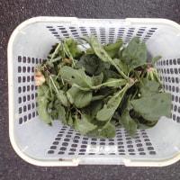 越冬野菜収穫