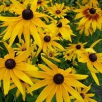 「おはようの花」 ルドベキア 6月