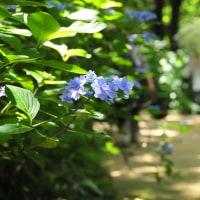 過去の写真~梅雨の花(広島空港側三景園)