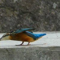 フリー素材 : 野鳥 ・ 翡翠  於大公園のカワセミ・どじょう