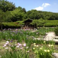 奈良県立民族博物館公園のしょうぶが今素晴らしくきれい