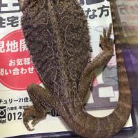 フトアゴヒゲトカゲ頭胴長約20cm