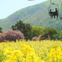 黒姫高原「菜の花」が見頃です!