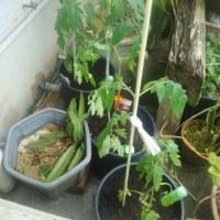 トマト🍅の苗を植える