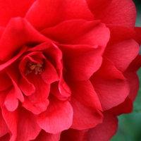 日本のバラは椿