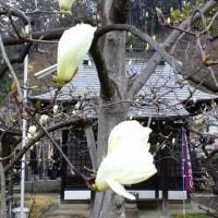 今年も春の妖精が咲きました