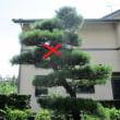 終活で庭木の松を伐採する