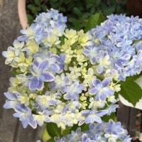 我が家の紫陽花