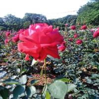 与野公園のバラ祭り