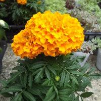 薔薇ゴルデルゼ(八重咲中輪、黄金色の花があふれるほど咲く)、クレマチス、花と子を持つ七福神など