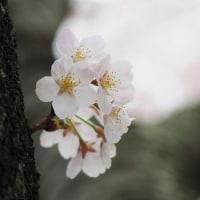桜と桜色と新緑と・・・