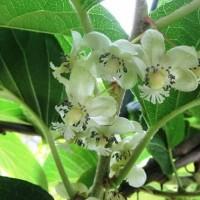 サルナシ(猿梨)の花