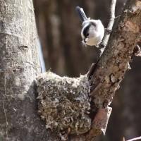 エナガの巣作り(2週目)