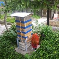 日本ミツバチ捕獲ならず
