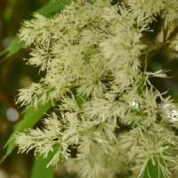 マルバアオダモの雄花序