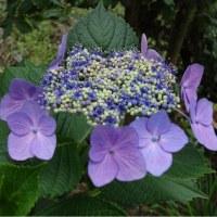 昨日の雨でほっと一息 紫陽花は元気を取り戻した