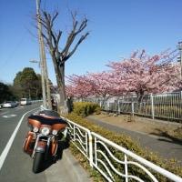 春よ来い、河津桜でお花見じゃ!