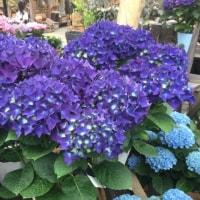 鮮やかな紫陽花