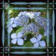 90.紫陽花