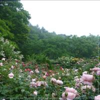 軽井沢のバラを満喫してきました