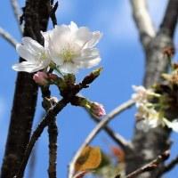 オオシマザクラ 開花