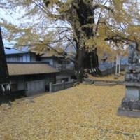 樹齢400年の銀杏