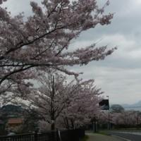🌸桜・さくら