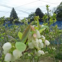 ブルーベリーの花が満開です