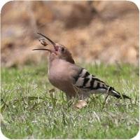 ◯【珍 鳥 公園に】・・・・・・1科1種の珍鳥でユーラシア、アフリカ両大陸などに広く分布!