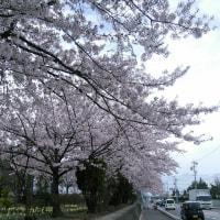 松本の桜は