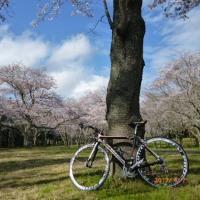 桜見物サイクリング 2017