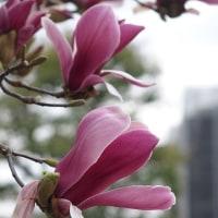 乙女椿と紫木蓮