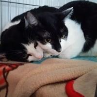 白黒姉妹、黒猫母猫代理募集、正式譲渡となりました〜