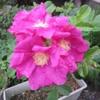 「ハマナス」の花・・・