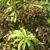 19日の散歩で見た花と実(シロダモ、シロハギ、アセビ、チェリーセージ、バラ)