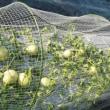 イチゴ育苗中