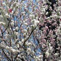 花桃が綺麗です