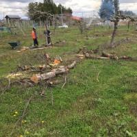 リンゴの木を切る