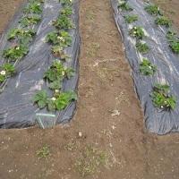 夏野菜に向けて、畑の草取りと、少しだけビワの摘果してみたよ!
