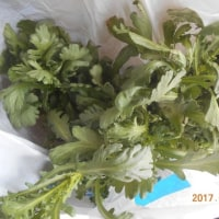 今日の収穫 タカナ ワケギ ネギ ブロッコリー